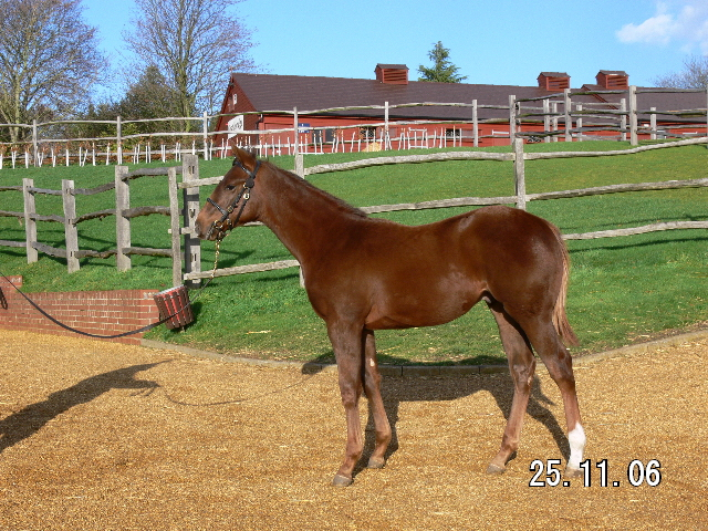 Quasi Congaree bei den Tattersalls December Foal Sales